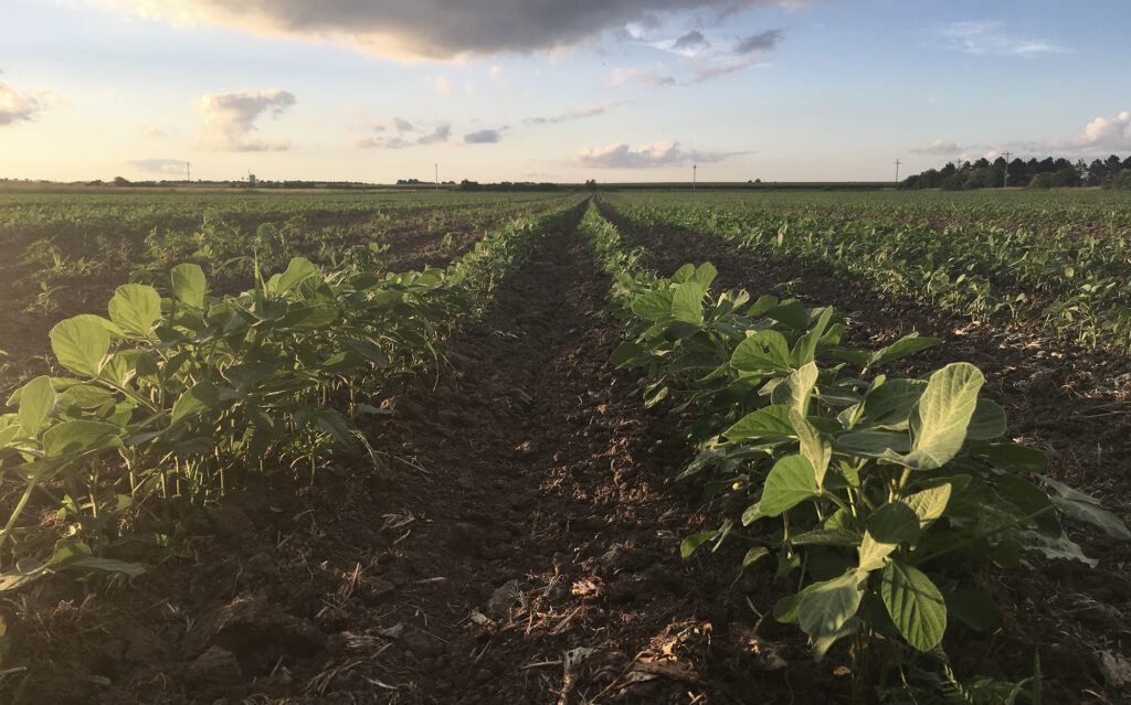 Soybeans growing in soil at the Grain Place